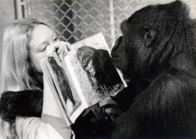 hkw_ape_culture_koko_le_gorille_qui_parle_c_les_films_du_losange_